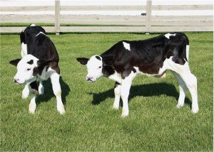 gene-edited polled calves
